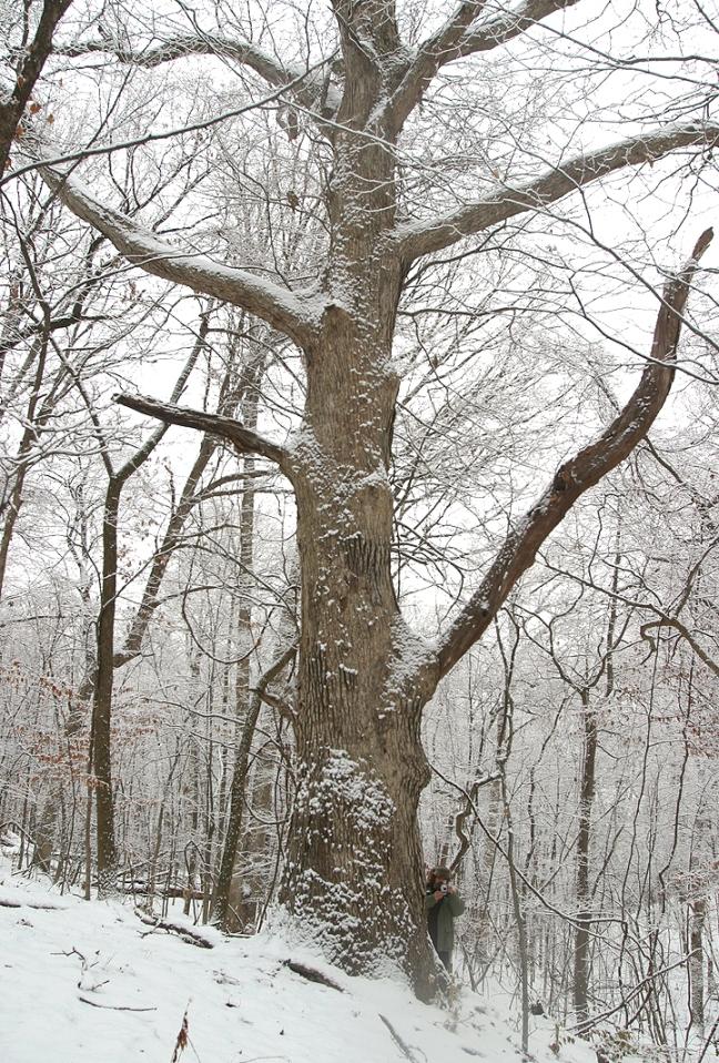Vern_Wolf_Snowy_Oak